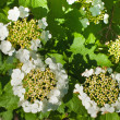 Spring flowering of viburnum — Stock Photo