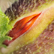 Stock Photo: Poppy bud