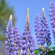 Foto Stock: Lupine flowers
