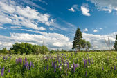 Lupine flowers in blue sky — Stock Photo