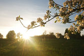 Sunset in apple garden — Stock Photo