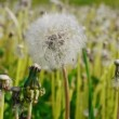 Stock Video: White dandelion swayed in wind