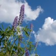 Lupine flowers — Stok Video #26792601