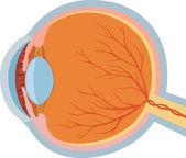 Eye anatomy vector illustration — Stock Vector