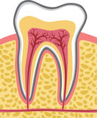 Tooth anatomy — Stock Vector