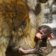 Stock Photo: Baboon family with baby