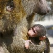 Baboon monkey feeding its baby - Stock Photo
