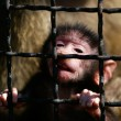 Close up portrait of baboon monkey baby in cage - Stock Photo