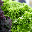 Fresh green and red lettuce - Foto Stock