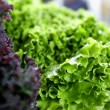 Fresh green and red lettuce - Stock Photo