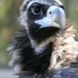 Head of vulture - Stock Photo