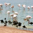 Greater Flamingo in water — Stock Photo #12605269