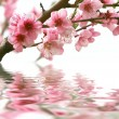 Peach flowers and reflection over white - Photo
