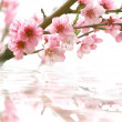 图库照片: Peach flowers and its reflection over white