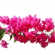 Purple flowers over white - Stock Photo