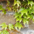 Ivy on stone wall - Stock Photo