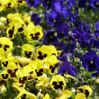 Blue and yellow pansy flowers - Stock Photo