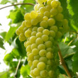 Close up of a grape cluster - Photo