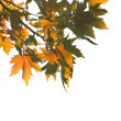 Autumn leaves over white — Stock Photo