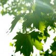 Maple tree leaves in sun rays — Stock Photo