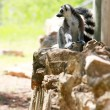 Lemur monkey - Stock Photo