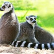 Three lemur monkeys — Stock Photo