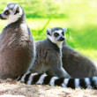 Stock Photo: Three lemur monkeys