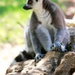 Lemur monkey — Stock Photo