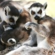 Lemur monkeys — Stock Photo