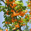 Apricots on tree isolated over blue sky — Stock Photo #12609732