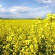 Yellow flowers on spring field — Foto Stock