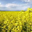 Yellow flowers on spring field — Stock Photo