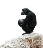 Chimp sitting on rock, isolated over white — Stock Photo