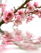 Peach flowers and reflection over white — Stock Photo