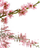 Peach branch with flowers over white — Stock Photo