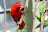 Red lovebird on tree — Stock Photo