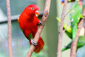 Red lovebird — Stock Photo
