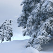 Stock Photo: Big and small trees covered with snow