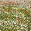Red poppies and daisy flowers on spring field — Stok fotoğraf