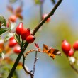 Stock Photo: Dog rose hips