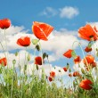 Red poppies over sky background — Stock Photo