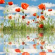 Stock Photo: Red poppies over sky background