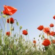 Red poppies on blue sky background — Stock Photo