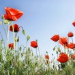 Red poppies on sky background — Stock Photo #12611881