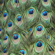 Stock Photo: Peacock feathers pattern