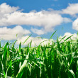 Green grass over sky background - Stock Photo