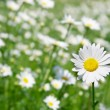 Stock Photo: Daisy flower on filed backgorund