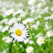 Daisy flower — Stock Photo #12611996