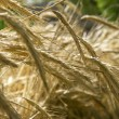 Close up of wheat spikes — Stock Photo