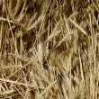 Plenty of wheat spikes — Stock Photo